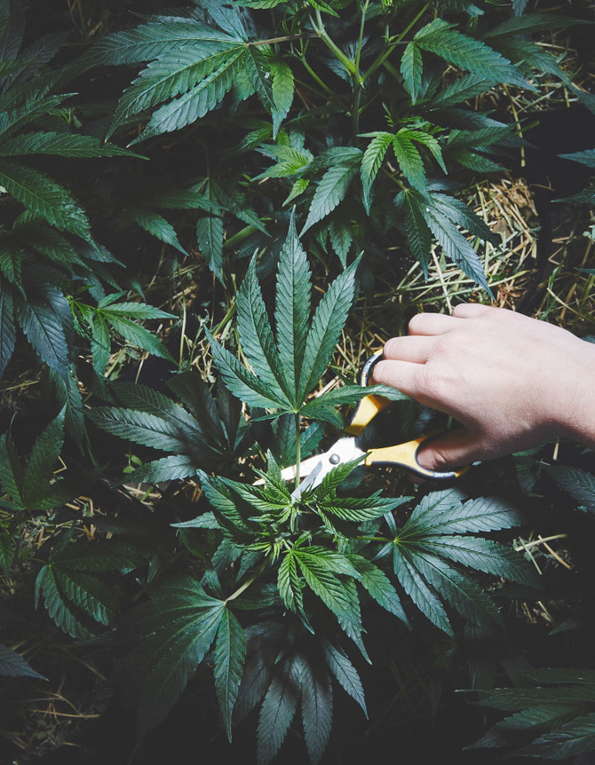 pousser-du-cannabis-4