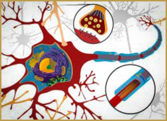 On Pense Que Les Cannabinoïdes Offrent Un Effet Protecteur En Raison De Leur Rôle Dans La Signalisation Glutamatergique Au Niveau Des Synapses (Ethan Hein).