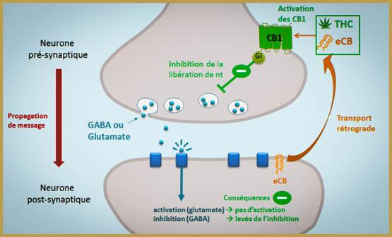 Synapse Sous L'effet Du Cannabis