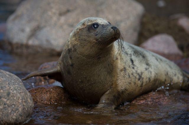 dead-seal-russia
