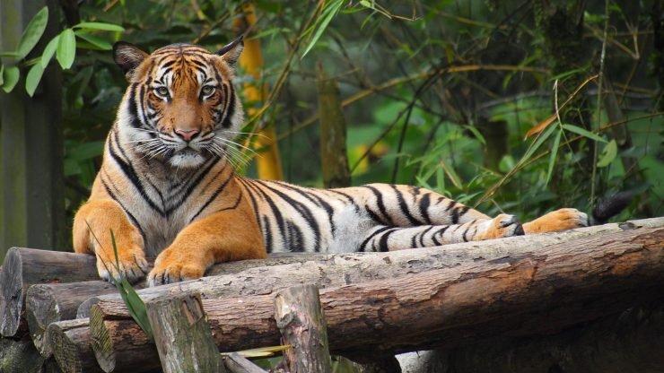 tigre coronavirus